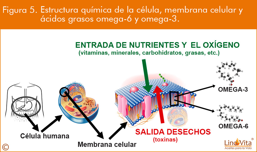 Figura-5-membrana-celular-celula-y-omega-3-permeabilidad-fluidez-reparacion-renovacon-linovita