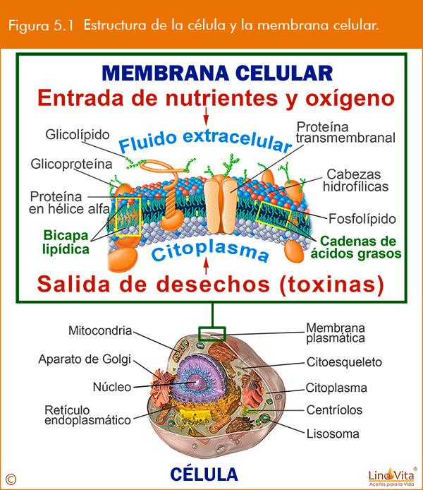 membrana celular y la mejor entrada de nutrientes gracias a omega 3
