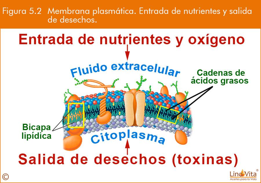 membrana celular entradas nutrientes y salida toxinas beneficio propiedades de omega 3