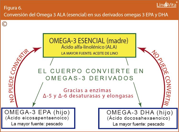 Figura 6 Conversion del Omega 3 ALA esencial en sus derivados omegas 3 EPA y DHA linovita