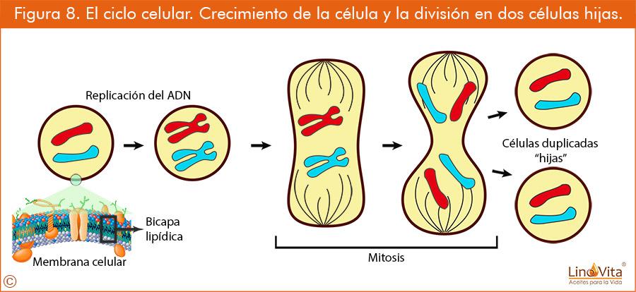Figura 8 El ciclo celular Crecimiento de la celula y la division en dos celulas hijas linovita